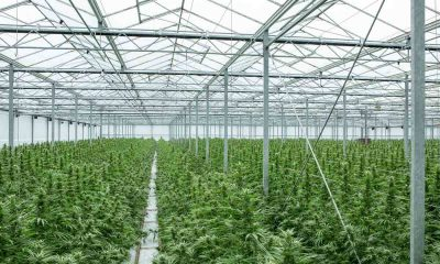 Vietnamese Migrant Who Got Involved in Cannabis Farming in the UK